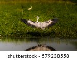 grey heron taking off to catch... | Shutterstock . vector #579238558