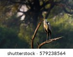 grey heron perched in wood at... | Shutterstock . vector #579238564
