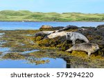 Colonies Of Seals At Dunvegan...