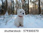 West Highland White Terrier In...
