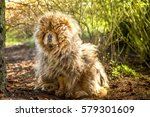 Stock photo upset sad dirty old and shaggy chow chow dog sitting on pine cones in shadow under pine tree 579301609