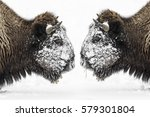 Two Bull Bison  Bison Bison ...