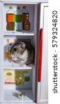 grey dwarf hamster gray hamster ... | Shutterstock . vector #579324820