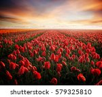 tulip field with sunset | Shutterstock . vector #579325810