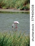 Small photo of Lesser flamingo (Phoeniconaias minor) on an alkali lake in Arusha National Park, Tanzania