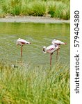 Small photo of Lesser flamingos (Phoeniconaias minor) on an alkali lake in Arusha National Park, Tanzania