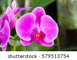 beautiful orchid flowers in the ... | Shutterstock . vector #579513754