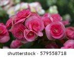 Floral Background Pink Begonia...