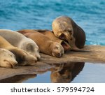 sea lions lying down on the... | Shutterstock . vector #579594724