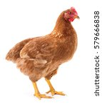 young brown hen isolated on... | Shutterstock . vector #579666838