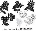 illustration with jasmine... | Shutterstock .eps vector #579702700