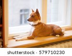 basenji dog looking out the... | Shutterstock . vector #579710230