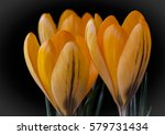 Yellow Crocus  A Spring Sign I...