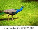 peacock on a green grass. male...   Shutterstock . vector #579761200