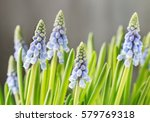 Muscari Flowers  Grape Hyacinth