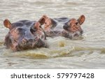 Two Hippopotamuses In The Rive...