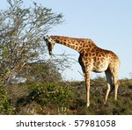 young giraffe chewing some...   Shutterstock . vector #57981058