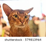 Small photo of Cat of the breed ABYSSINIAN