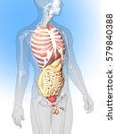 medical illustration of a human ... | Shutterstock . vector #579840388