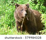 grizzly bear eating marigolds   Shutterstock . vector #579984328