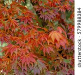 Small photo of Acer palmatum Autumn colours