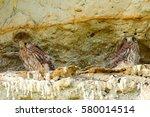 Juveniles Common Kestrels At...