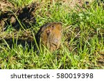 Small photo of A Botta's Pocket Gopher going partially out of its burrow, San Francisco bay area, California