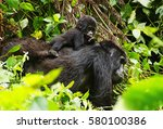 Mama Gorilla And A Baby Gorill...