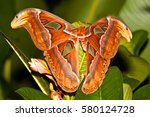 night butterfly atlas moth or...   Shutterstock . vector #580124728