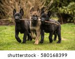 Stock photo three working line german shepherd puppies brings one stick 580168399