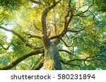 Tree Forest  Camphor  Ecology...