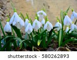 beautiful snowdrop  galanthus... | Shutterstock . vector #580262893