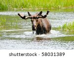 A Bull Moose With Water Runnin...