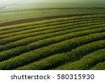 Green Tea Plantation Farm With...