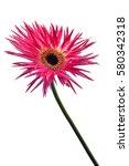 beautiful chrysanthemum... | Shutterstock . vector #580342318