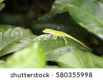 Small photo of American green anole lizard aka Anolis carolinensis or American chameleon. green anole on a green leaf. chameleon lizard in jungle.