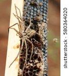 Small photo of cane spider aka Heteropoda venatoria or Huntsman Spider. Hawaiian arachnid.