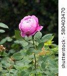 roses in the garden | Shutterstock . vector #580403470
