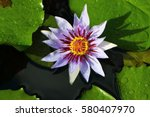 Purple Water Lily  Nymphaea
