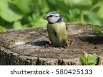 a beautiful blue tit  cyanistes ... | Shutterstock . vector #580425133