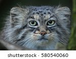 Small photo of Pallas's cat (Otocolobus manul), also known as the manul.