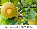 Closeup of fresh yellow lemon fruits with blossoms on the tree - stock photo