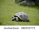 Stock photo details of wild galapagos tortoise and green grass 580553773