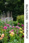 Small photo of Colourful dahlias blooming on an English allotment in August