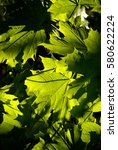 Small photo of Allover closeup of spring green maple leaves presenting shades, illumination and translucence