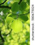 leaves of fresh green. leaves... | Shutterstock . vector #580675024