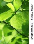leaves of fresh green. leaves... | Shutterstock . vector #580675030