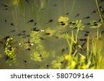 green toad  bufotes viridis ... | Shutterstock . vector #580709164