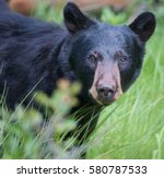Black Bear Portrait.