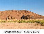 Three Arabian Camel  Camelus...